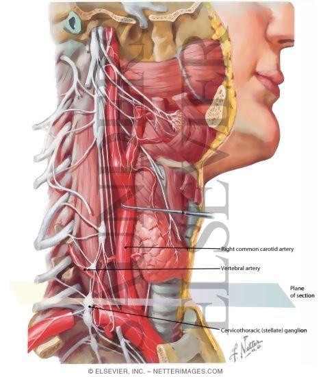 Autonomic Nerves In Neck