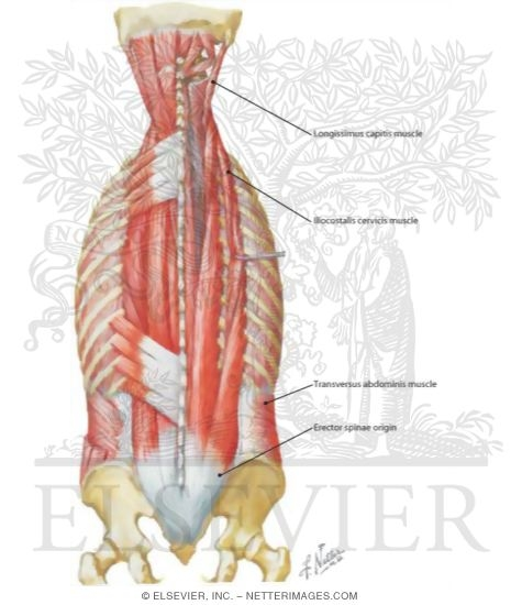 Lumbar Paraspinal Muscle Back Lower Paraspinal Muscles
