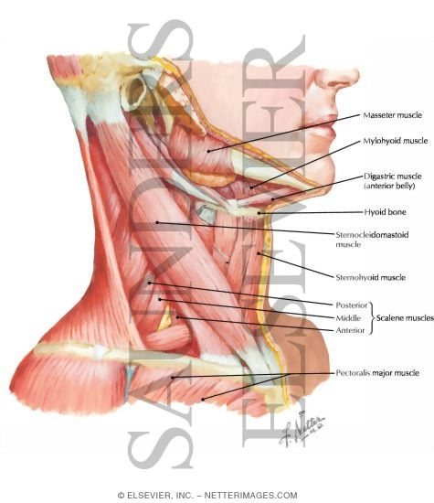 Neck Muscles: Lateral View
