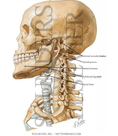 Skull And Neck