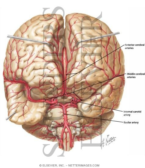 Arterial Supply Of Brain Frontal View