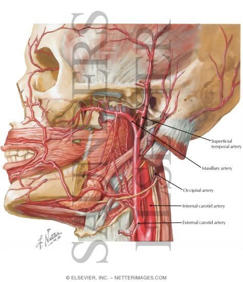 Neck Vascular Netter Diagram - Auto Electrical Wiring Diagram •