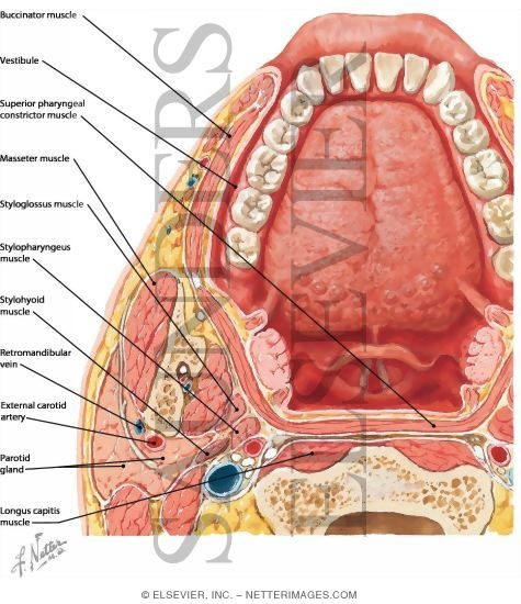 And Oral Cavity