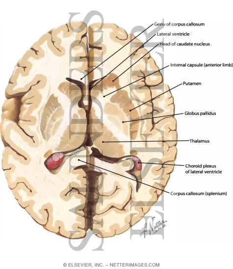 Cerebral Cortex And Basal Ganglia Axial Section