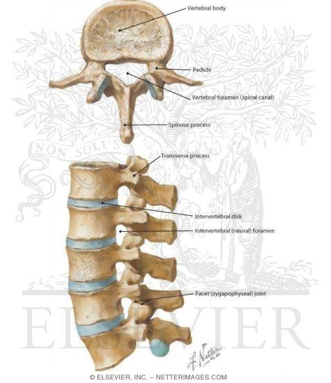 Netters Concise Radiologic Anatomy