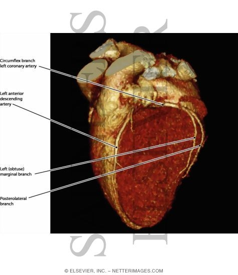 Coronary Vessels: Anterior View