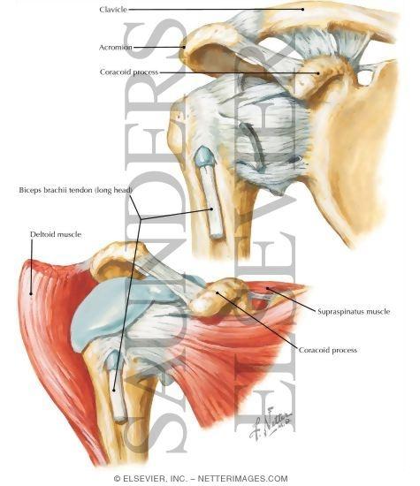 Shoulder Joint Biceps Tendon