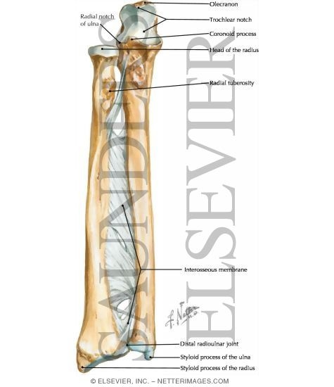 forearm bones how to know
