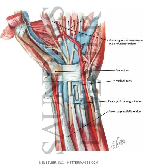 Flexor Muscles of the Wrist