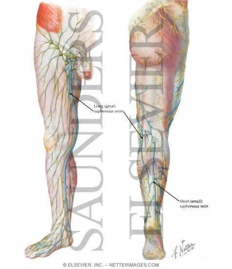 veins, Human Body