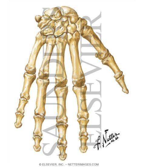 Bones Of The Hand And Wrist