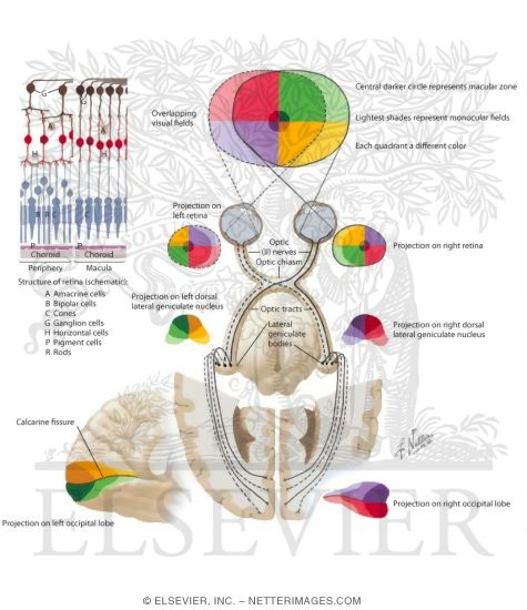 Optic Nerve (II) (Visual Pathway): Schema Optic System ...