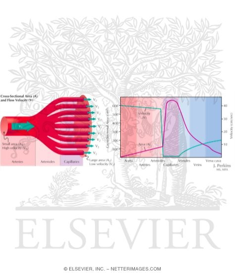Illustration of Relationship Between Velocity of Blood Flow and Cross-Sectional Area from the Netter Collection