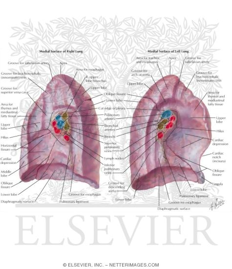 lungs: medial views medial surface of lungs, Human Body