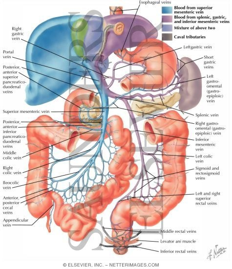 Hepatic Portal Vein Tributaries Portocaval Anastomoses