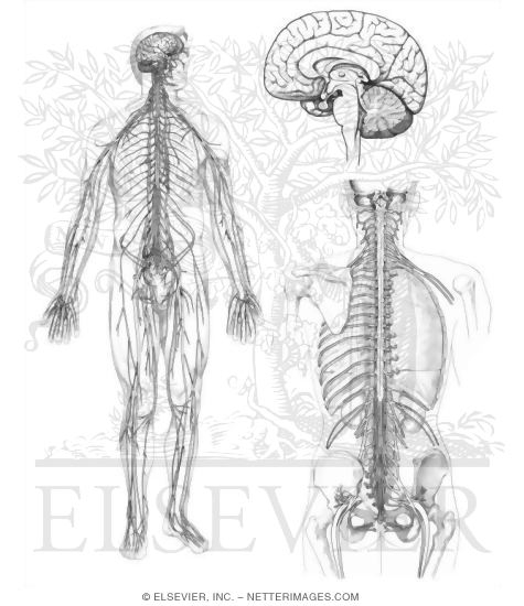 Free Endocrine System Coloring Pages