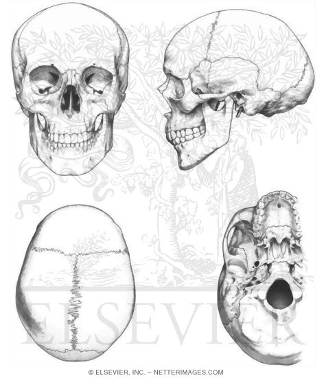 external features of the skull