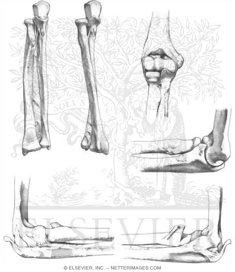 Forearm and Elbow Joint