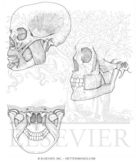 Illustrations In Anatomy Coloring Book Hansen 1e