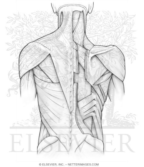 superficial and intermediate back muscles - Netters Anatomy Coloring Book