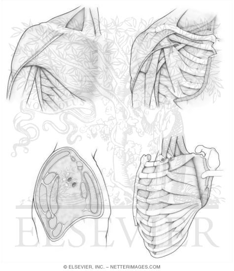 anatomy muscles coloring pages free - photo#33
