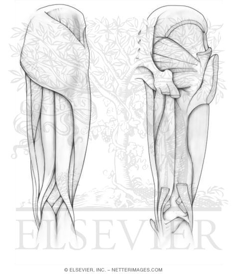 anatomy muscles coloring pages free - photo#21