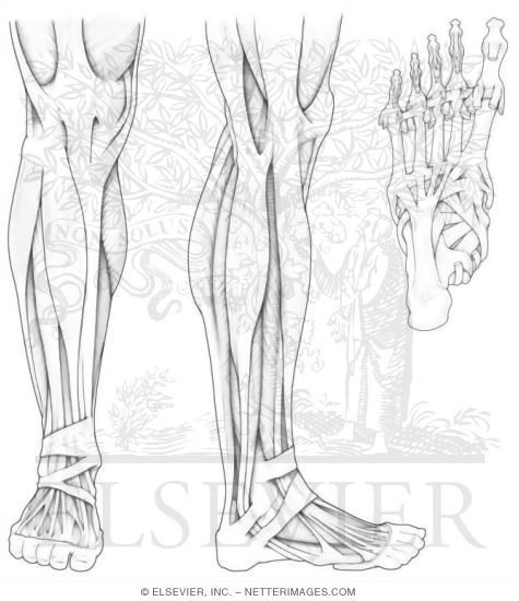 Anatomy Coloring Pages Muscles Free | Coloring Pages