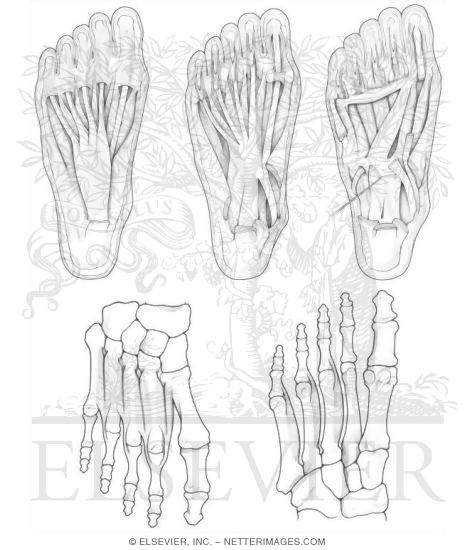 Anatomy Coloring Book Chapters Illustrations In Hansen E