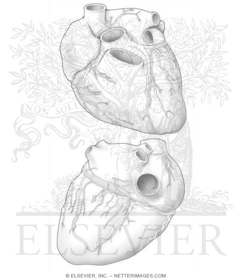 Human heart coloring page - ecolubecenter.com - Home