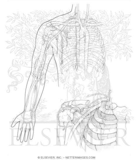 97 Coloring Page Of Arteries
