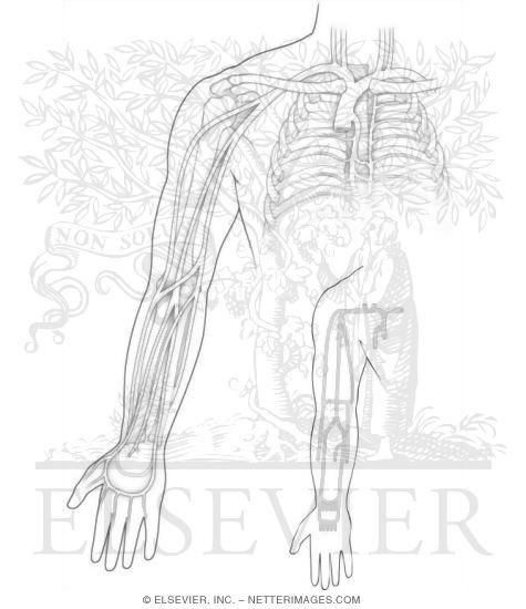 Veins Of The Upper Limb