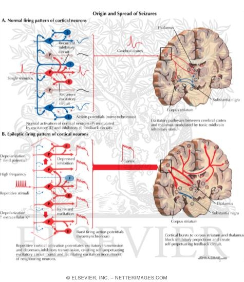 Normal Electrical Firing Patterns of Cortical Neurons and the Origin and Spread of Seizures