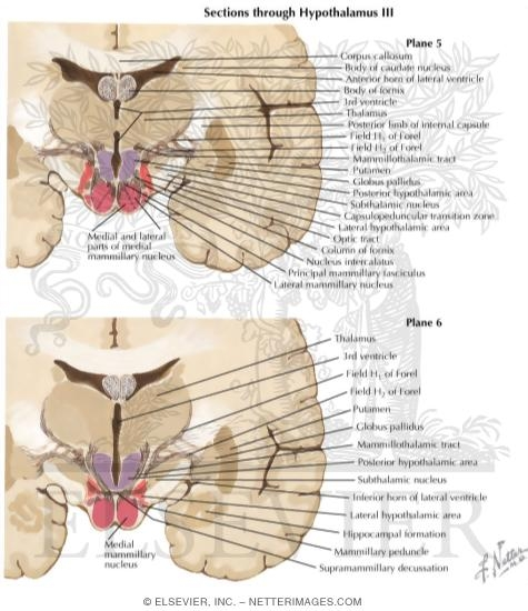 Sections Through the Hypothlamus: Mammillary Zone