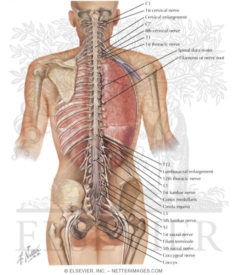 Spinal Cord And Ventral Rami In Situ