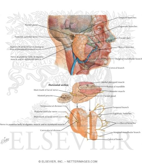 Facial Nerve Branches and the Parotid Gland