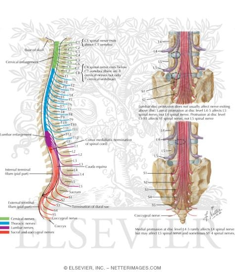 Relation Of Spinal Nerve Roots To Vertebrae The Spine