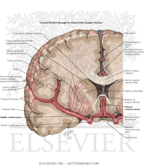 Frontal section of brain ccuart Gallery