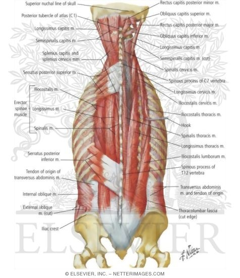 muscles of back: intermediate layers spenius and erector spinae, Human Body
