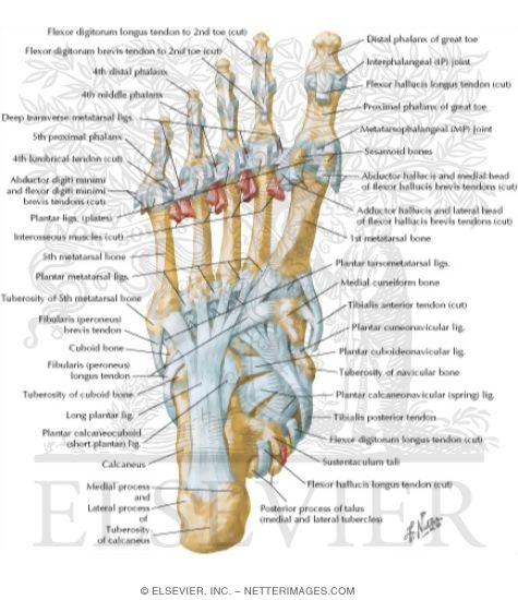 Foot Diagram Tendons Ligaments Electrical Drawing Wiring Diagram