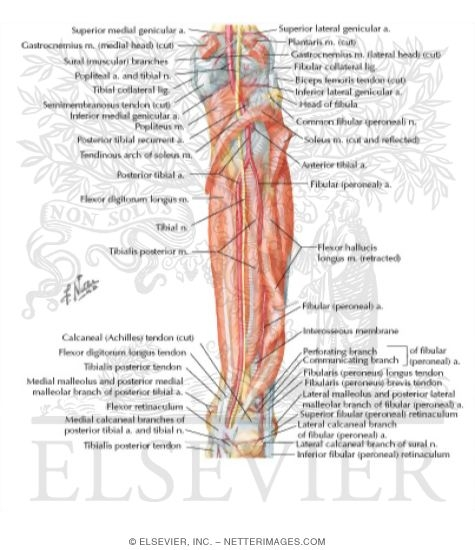 Muscles Arteries And Nerves Of Leg Deep Dissection Posterior