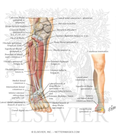 Tibial and Fibular Nerves: Posterior View