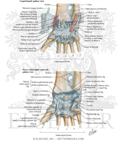 Ligaments of Volar Aspect of Wrist with Transverse Carpal Ligament ...
