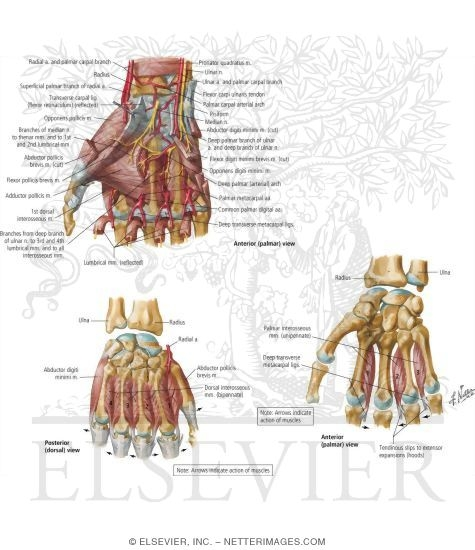 Intrinsic Muscles of Hand http://www.netterimages.com/image/32897.htm