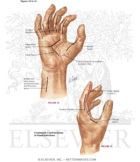 anatomy of the hand, Human body