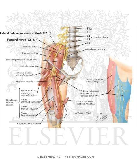 Nerves Hip Joint Diagram Wiring Circuit