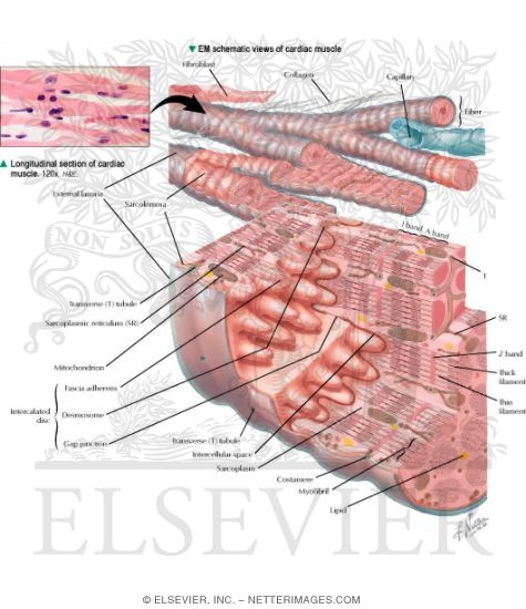 Histology of the Myocardium: Schematic Views of Cardiac Muscle