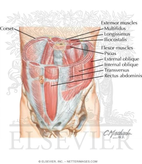 Muscles Of Anterior Abdominal Wall
