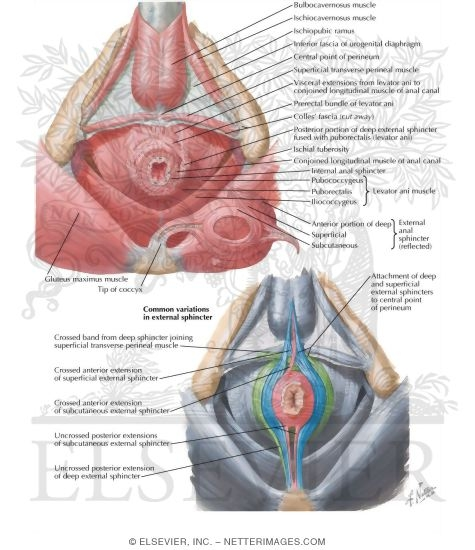 Muscles of the Pelvic Floor With Common Variations In External Sphincter
