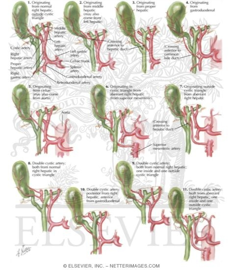 Variations In Cystic Artery