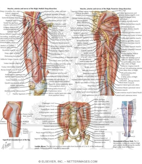 Anatomy Of The Pelvis Hip And Thigh